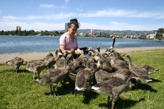 Geese and goslings pecking their daily bread at Lake Merritt